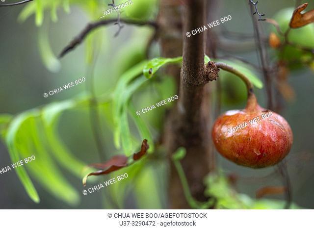 Wild fruits around Kampung Apar, Sarawak, Malaysia