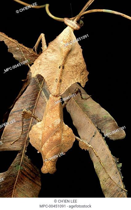 Dead-leaf Mantid (Deroplatys trigonodera) mimicking dead leaf, Gunung Gading National Park, Malaysia