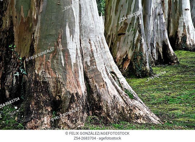 Eucalyptus Trunks at Asturias, Spain, Europe