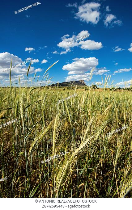 Cereal fields, Almansa, Albacete province, Castile La Mancha, Spain