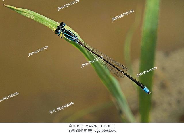 lesser ischnura, scarce blue-tailed damselfly (Ischnura pumilio), male, Germany