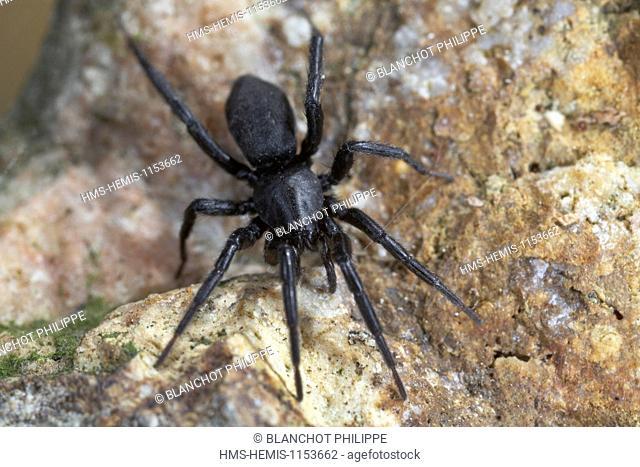 France, Araneae, Gnaphosidae, Ground spider (Zelotes sp)