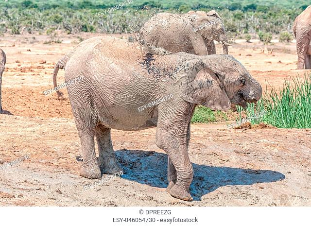 Elephant calf taking mud bath