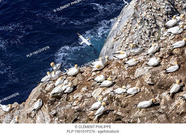 Northern gannets (Morus bassanus) breeding on nests in sea cliff at seabird colony in spring, Hermaness, Unst, Shetland Islands, Scotland, UK