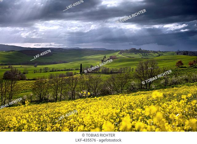 Tuscan hills of the Val d'Orcia in Spring with blooming canola in the foreground, Pienza, Tuscany, Italy