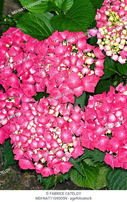 Hortensias blooming