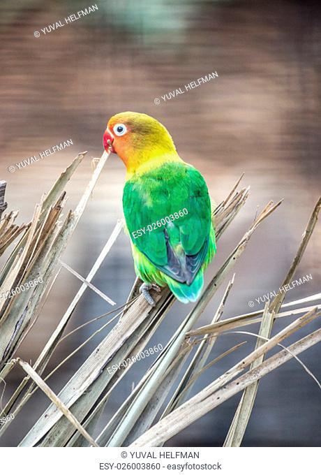 Native to northern Tanzania and southern Kenya, Fischer's Lovebirds live in flocks in open grasslands, acacia woodlands and dry brush country