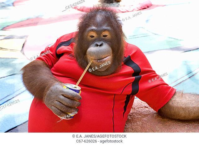 Orangutan in Thai  Zoo
