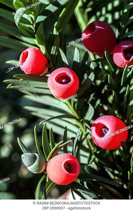 Taxus baccata (European yew) shoot with red mature cones