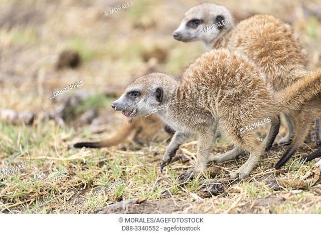 Africa, Southern Africa, Bostwana, Nxai pan national park, Meerkat or suricate (Suricata suricatta), eating a toad