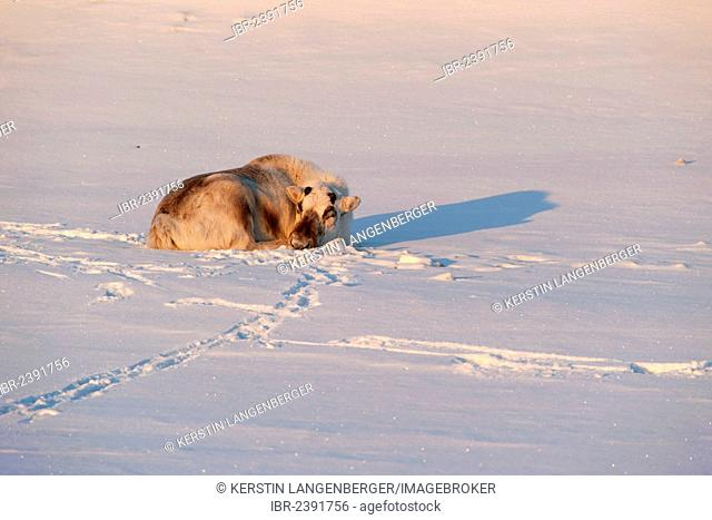Svalbard Reindeer (Rangifer tarandus platyrhynchus) without antlers, sleeping in the first sunlight of an early summer day, Adventdalen, Longyearbyen