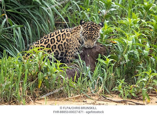 Jaguar (Panthera onca palustris) adult, killing Capybara (Hydrochoerus hydrochaeris) prey, Cuiaba River, Mato Grosso, Brazil, September