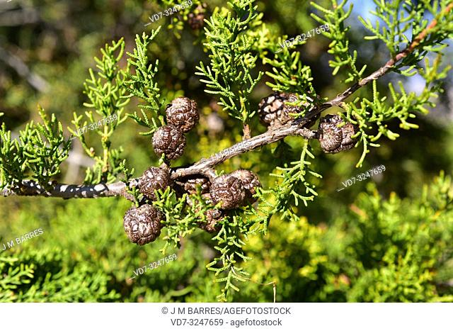 Forbes cypress (Cupressus forbesii or Hesperocyparis forbesii) is a conifer tree native to southwestern USA and Baja California (Mexico)