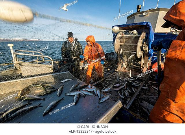 Crew hauling in herring during Togiak Fisher, Bristol Bay, Southwest Alaska, USA