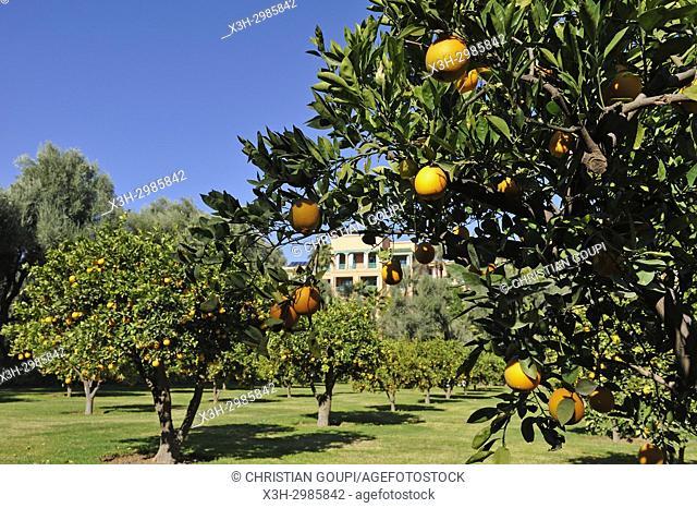 orange grove in the garden of the luxury 5 stars hotel La Mamounia, Marrakesh, Marocco, North Africa