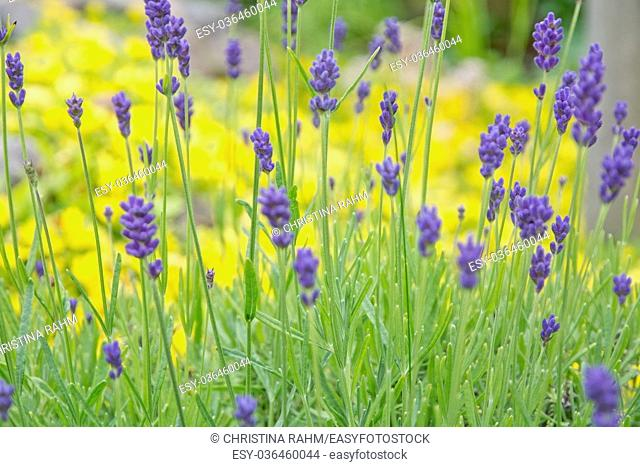Lavender, yellow and green. Green garden in July, Sweden