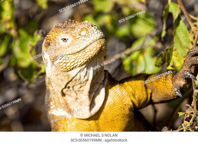 The very colorful Galapagos land iguana Conolophus subcristatus in the Galapagos Island Archipeligo, Ecuador This large land iguana is endemic to the Galapagos...