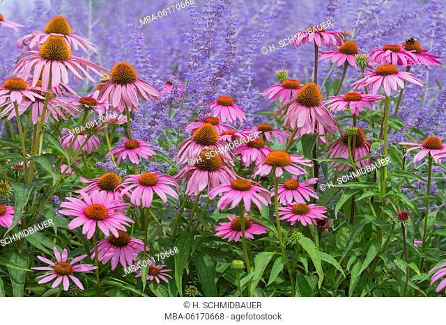 Purple coneflower, Echinacea purpurea, and blue diamond, Perovskia abrotanoides, flower meadow