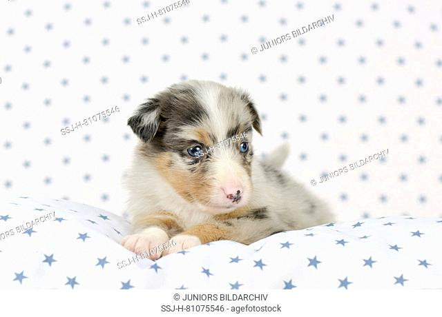 Australian Shepherd. Puppy (4 weeks old) lying on a white cushion with blue star print. Studio picture. Germany