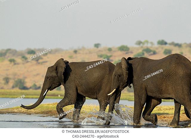 African Elephant (Loxodonta africana) - Females that just have been crossing the Chobe River rush back into the water to welcome a juvenile straggler