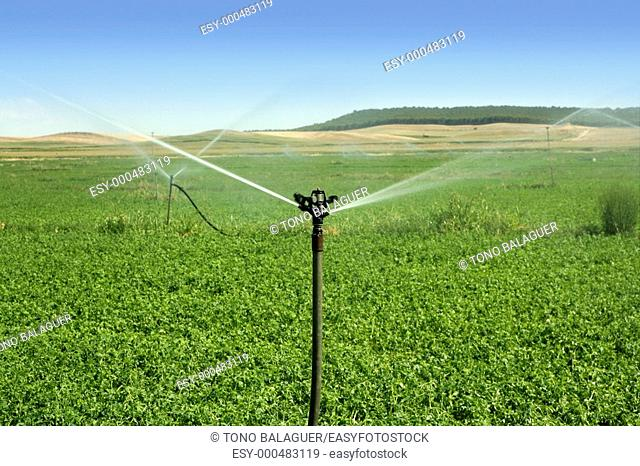 Irrigation vegetables field with turning sprinkler water