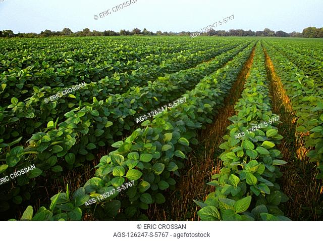 Agriculture - Field of late mid-growth no-till soybeans growing in wheat stubble / Mid Atlantic USA