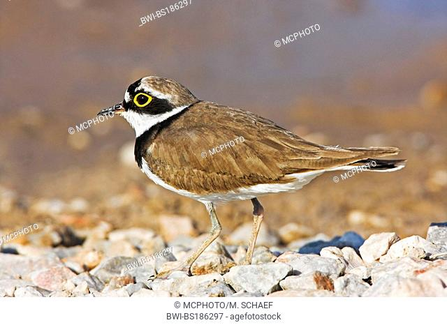 little ringed plover (Charadrius dubius), standing on graval, Germany, Rhineland-Palatinate