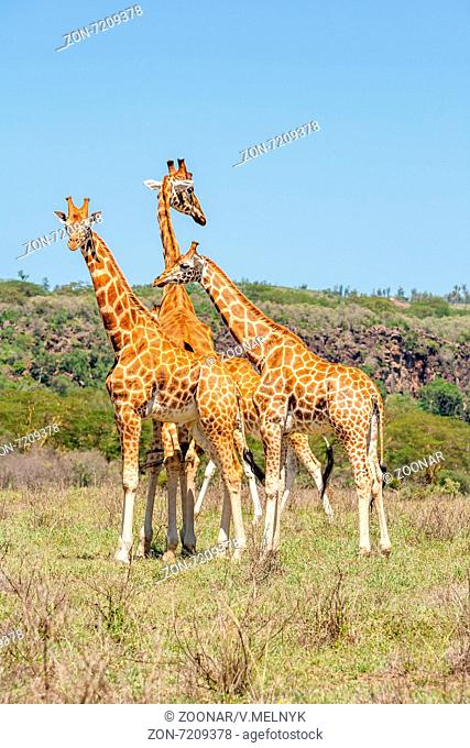three giraffes herd in savannah