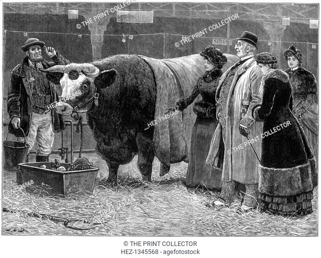 Prize bull, 1883. A print from the Illustrated London News, (22 December 1883)