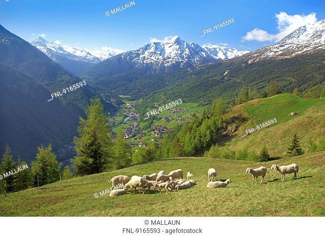 Flock of sheep in Oetztal Alps, Tyrol, Austria