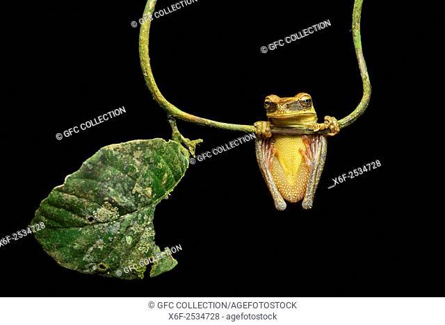 Neotropical Treefrog (Osteocephalus yasuni), Treefrog family (Hylidae), Amazon rainforest, Yasuni National Park, Ecuador
