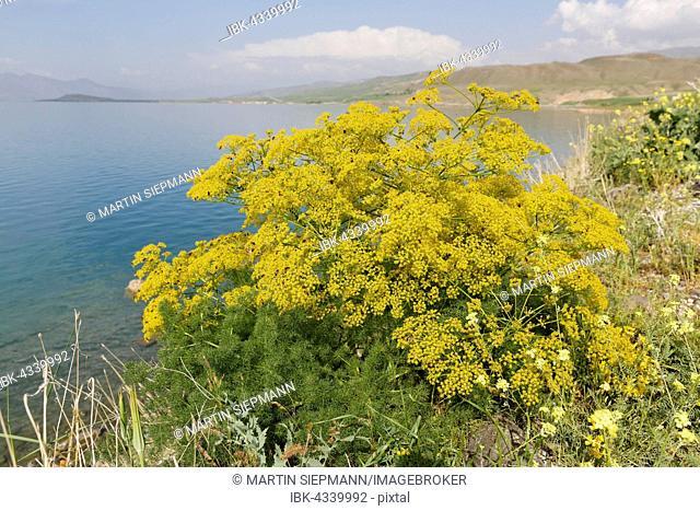 Genuine fennel (Foeniculum vulgare), Lake Van, Anatolia, Turkey
