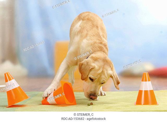 Labrador Retriever searching treats food pylone