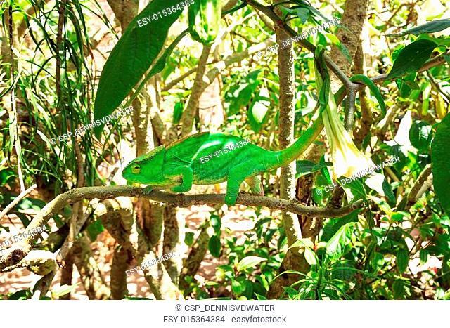 Calumna in the tree