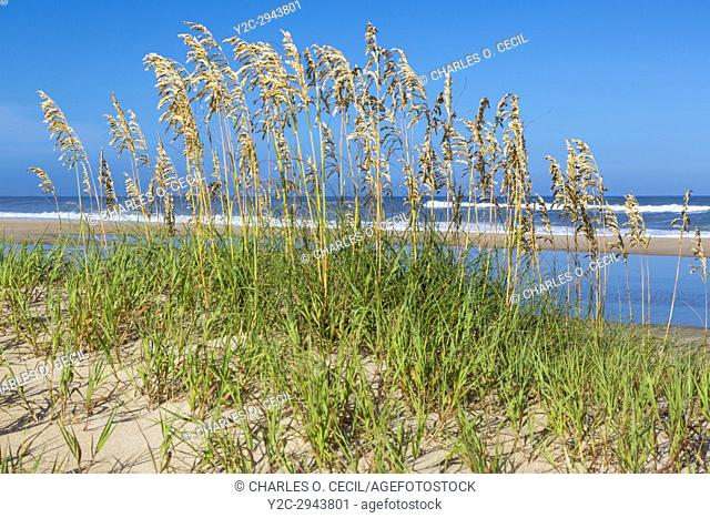 Avon, Outer Banks, North Carolina, USA. Sea Oats (Uniola Paniculata), a Dune Stabilizer