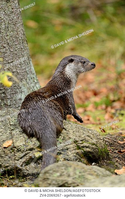 Close-up of a European otter (Lutra lutra) in autumn in the bavarian forest