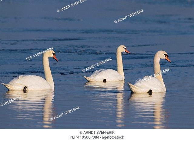 Mute swans Cygnus olor swimming in lake in winter, Germany