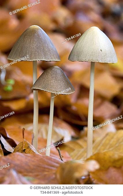 Conical Brittlestem (Psathyrella conopilus), Schleswig-Holstein, Germany