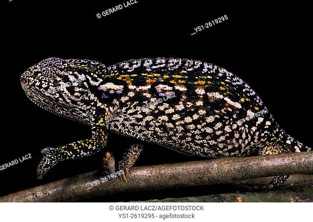 Madagascar Forest Chameleon, furcifer campani, Adult standing on Branch against Black Background