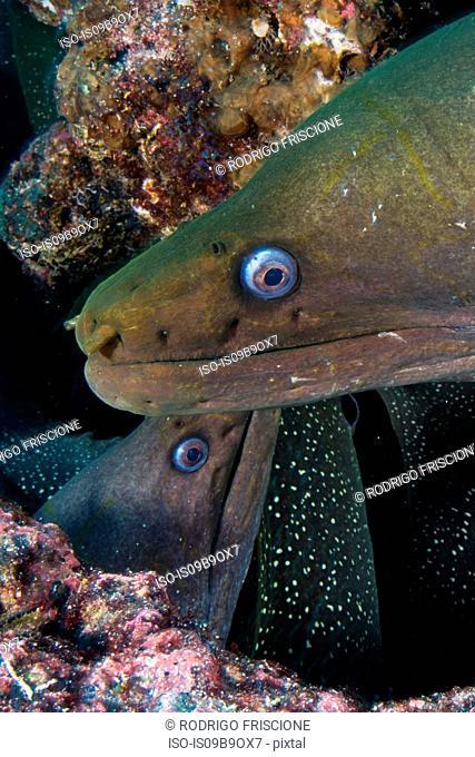 Close up of Moray Eels, Seymour, Galapagos, Ecuador, South America