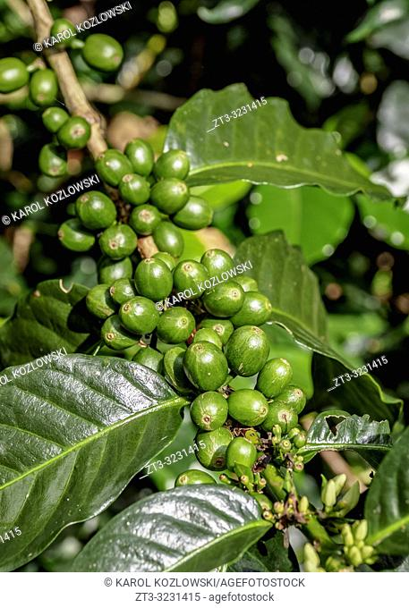 Coffea Cherries, Coffee Triangle, Salento, Quindio Department, Colombia