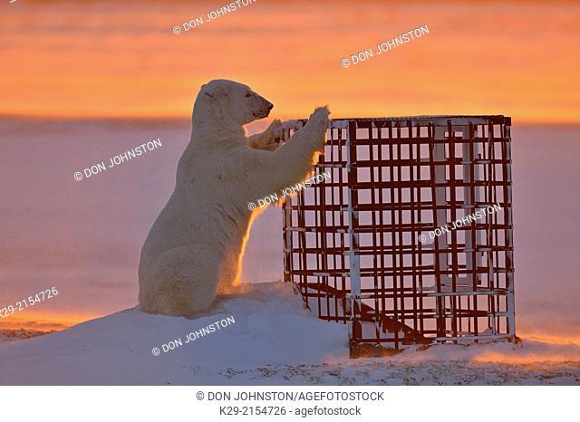 Polar bear (Ursus maritimus) curious bear investigating man-made structure, Wapusk NP, Cape Churchill, Manitoba, Canada
