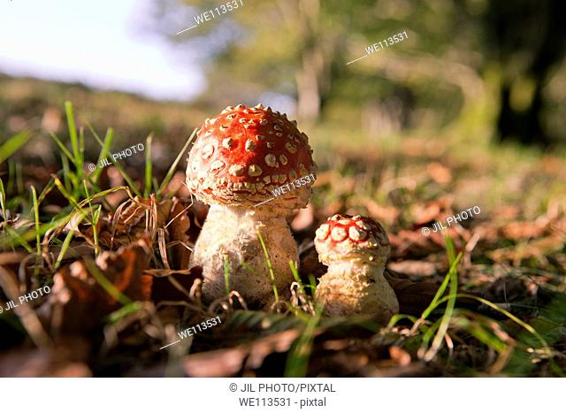 Fly Agaric Amanita muscaria, Kuleto paltsu Reig bord Witch Mushrooms
