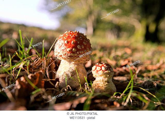 Fly Agaric Amanita muscaria, Kuleto paltsu Reig bord Witch Mushrooms