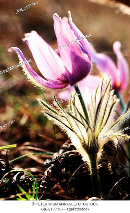 pasture with pasque-flowers, Austria, Burgenland, Northern Burgenland, Breitenbrunn