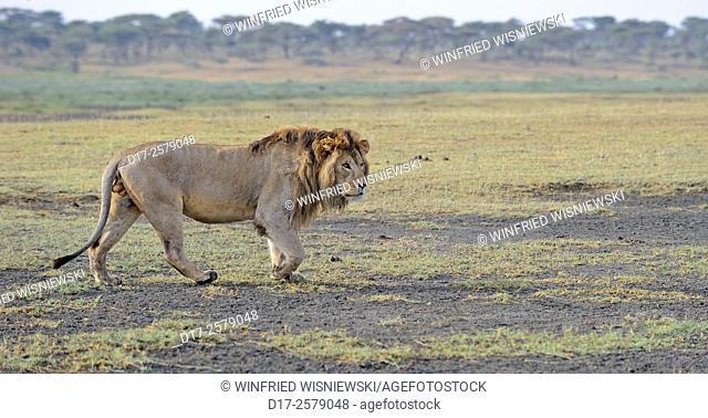 Mane lion (Panthera leo) walking. Seregeti NP. Tanzania