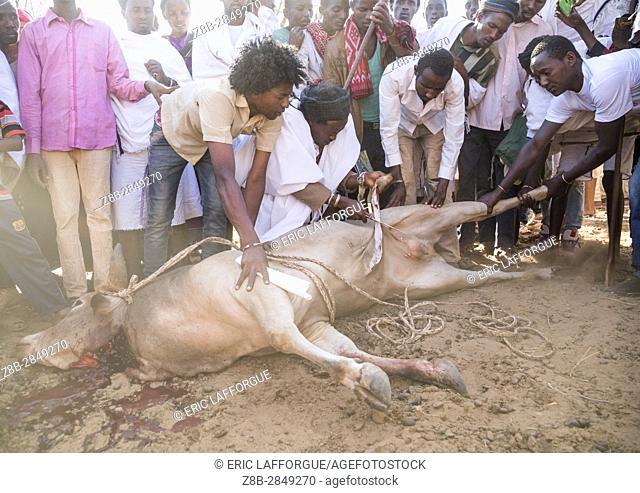 Kura Jarso cutting the genitals of a bull during the Gada system ceremony in Borana tribe, Oromia, Yabelo, Ethiopia