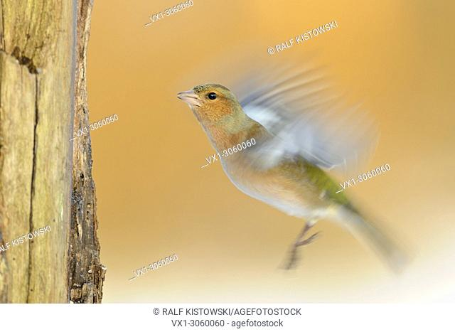 Long exposure, panning, of a flying Common Chaffinch ( Fringilla coelebs ) fluttering with its wings, wildlife, Europe.