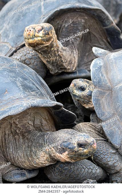 Giant tortoises at the Charles Darwin Research Station in Puerto Ayora on Santa Cruz Island (Indefatigable) in the Galapagos Islands, Ecuador