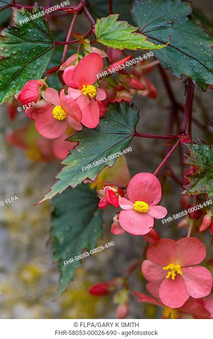 Cultivated Begonia (Begonia sp.) 'Dibleys Pink Shower', close-up of flowers, growing in garden, Norfolk, England, July